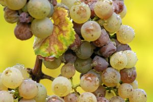 Botrytis-Grapes